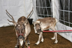 Reindeers arrive in Shard End.